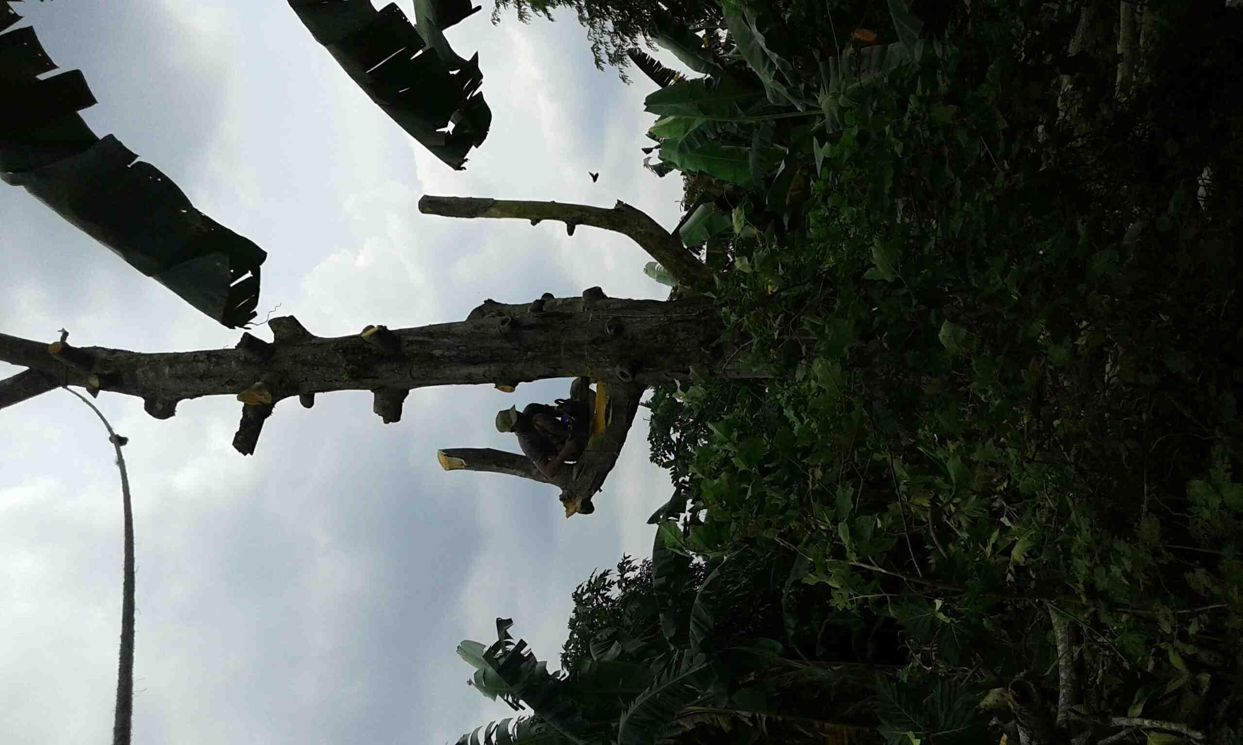 Foto: Jasa Tebang Pohon