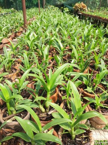 Foto: Bibit Anggrek Dendrobium 15Rb